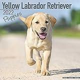 Yellow Labrador Retriever Puppies - Weiße Labradorwelpen 2022: Original Avonside-Kalender [Mehrsprachig] [Kalender] (Wall-Kalender)