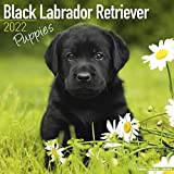 Black Labrador Puppies - Schwarze Labradorwelpen 2022 - 16-Monatskalender: Original Avonside-Kalender [Mehrsprachig] [Kalender]: Original BrownTrout-Kalender, mit freier DogDays-App (Wall-Kalender)
