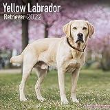 Yellow Labrador Retriever - Weißer Labrador 2022- 16-Monatskalender: Original Avonside-Kalender [Mehrsprachig] [Kalender] (Wall-Kalender)